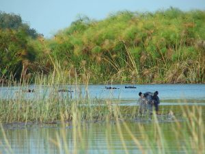 Hippos_in_the_Delta