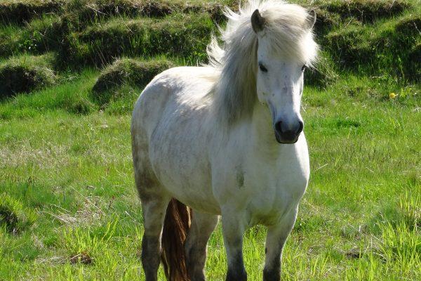 Freuen Sie sich auf die bekannten Islandponnys während Ihren Island Reiterferien.
