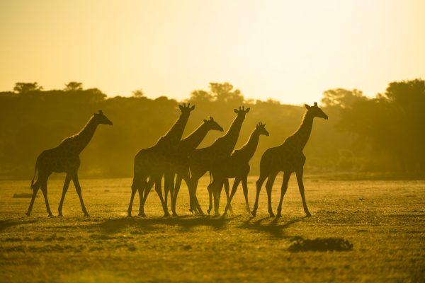 Sunway South Africa Kgalagadi giraffe 1532 (Bruce Taylor)