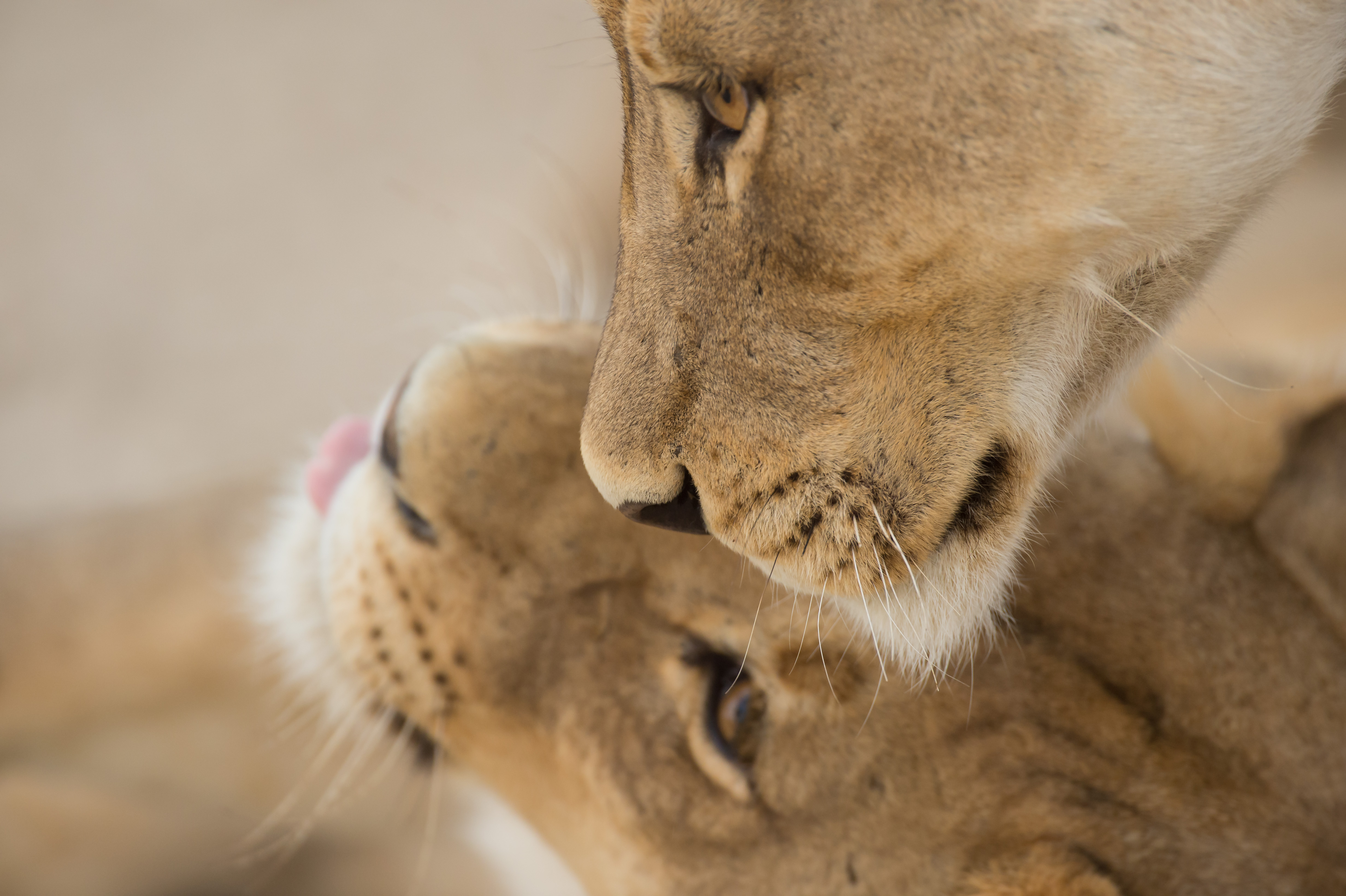 Sunway South Africa Kgalagadi lions Bruce Taylor BWT_2590
