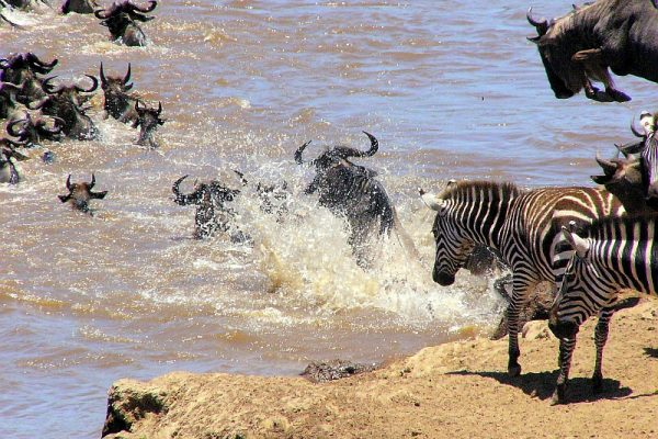 Zebra Migration1