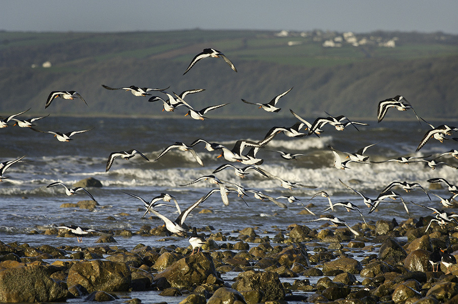 Oystercatchers on Tywi estuary in winter Haematopus ostralegus Carmarthenshire South Birds Wildlife Flora and Fauna