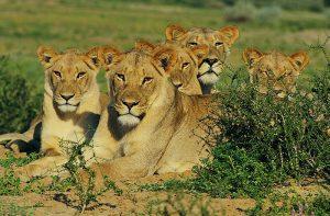 loewenfamilie1