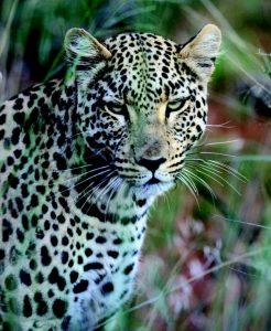 nam_K800_8._Leopard