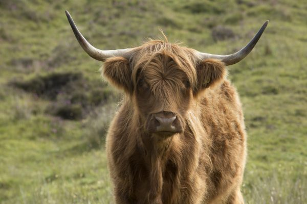 A Highland Cow, Gairloch, Highlands of Scotland.