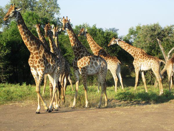 sued-Krugerpark-Giraffen