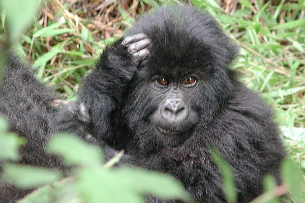 uganda_babygorilla