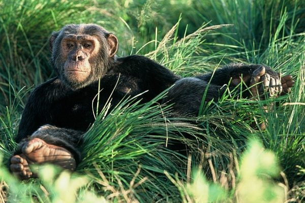 uganda_chimps6