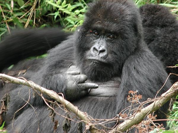 uganda_silverback1